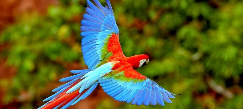 flying parrots scarlet macaws-792x356